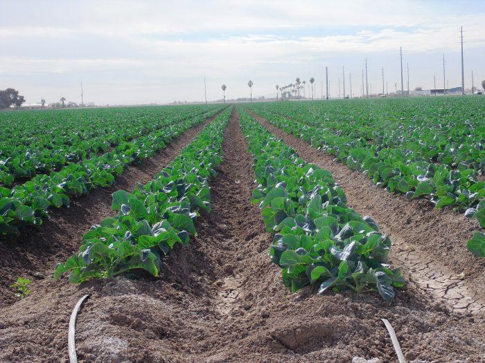 Irrigation Cauliflower